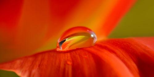 Bild mit Orange, Pflanzen, Blumen, Rot, Panorama, Makroaufnahme, Blume, Pflanze, Makro, Tulpe, Wassertropfen, Regentropfen, Tropfen, Tropfen, Flora, detail, Tau, Regen, Tautropfen