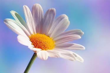 Bild mit Natur, Blumen, Lila, Blau, Sommer, Sonne, Blume, Pflanze, Makro, Margeriten, Margerite, Blumen und Pflanzen, Flora, garten, blüte