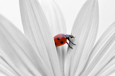 Bild mit Tiere, Blumen, Frühling, Rot, Insekten, Sommer, Tier, Makroaufnahme, Blume, Makro, Margerite, Marienkäfer, Flora, Colorkey, garten, blüte, nahaufnahme, detail, Insekt, Käfer, Glückskäfer, Glück, Symbol, glückssymbol