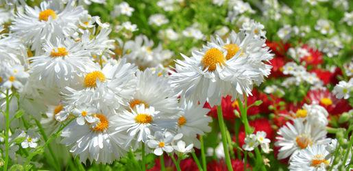 Bild mit Gelb, Natur, Grün, Blumen, Frühling, Sommer, Panorama, Blume, Wiese, Park, Margeriten, Margerite, Blumen und Pflanzen, Blüten, garten, blüte, blumenwiese