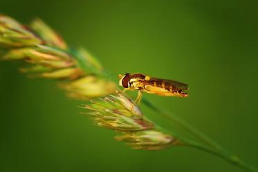 Bild mit Gelb, Grün, Insekten, Fliegen, Makroaufnahme, Pflanze, Makro, Gras, garten, nahaufnahme, Insekt, Fliege, Korn, facettenauge, nektarsuche, schwebefliege, schwebefliegen