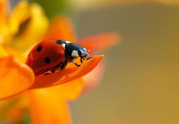 Bild mit Gelb, Tiere, Tiere, Natur, Blumen, Frühling, Rot, Insekten, Tier, Makroaufnahme, Blume, Makro, Marienkäfer, garten, blüte, nahaufnahme, detail, leuchtend, Details, Insekt, klein, Käfer, Glückskäfer