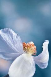 Bild mit Pflanzen, Blumen, Blau, Makroaufnahme, Blume, Pflanze, Makro, Blumen und Pflanzen, Flora, Blüten, blüte, detail, dekorativ, anemone, blumentanz