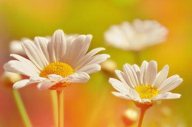 Bild mit Gelb, Natur, Blumen, Weiß, Frühling, Sommer, Blume, Makro, Wiese, Margeriten, Margerite, Blumen und Pflanzen, Gartenblumen, garten, blüte, blumenwiese, schnittblumen
