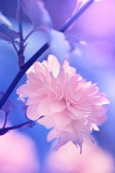 Bild mit Natur, Blumen, Frühling, Blau, Blume, Makro, Blumen und Pflanzen, Flora, Ranunkeln, Blüten, blüte, pink, Busch, Ranunkel, buschblüte, japonica, kerria, ranunkelstrauch