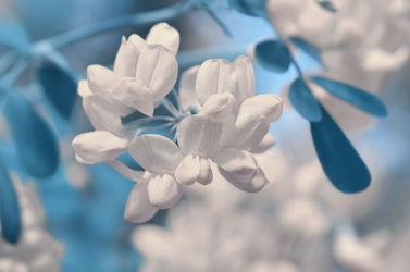 Bild mit Pflanzen, Blumen, Weiß, Blau, Blume, Pflanze, Makro, Blumen und Pflanzen, Flora, Blüten, blüte, dekorativ, coronilla, valentina