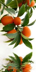 Bild mit Orange, Früchte, Zitrusfrüchte, Orangen, Frucht, Obst, Küchenbild, Stillleben, Küchenbilder, KITCHEN, frisch, frisch, Küche, Kochbild, zitrusfrucht, zwergorange