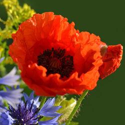 Bild mit Natur, Grün, Pflanzen, Blumen, Frühling, Rot, Mohn, Makroaufnahme, Blume, Pflanze, Mohnblume, Klatschmohn, Makro, Mohnblüte, Blumen und Pflanzen, Flora, Mohnblumen, blüte, detail, dekorativ, Botanik