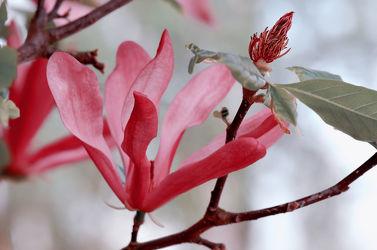 Bild mit Natur, Blumen, Frühling, Rot, Baum, Blume, Pflanze, Makro, Blumen und Pflanzen, Flora, Magnolien, blüte, Magnolie, Magnolienblüte, Zweig, baumblüte, frühlingsblüte, sternmagnolie