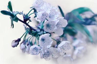 Bild mit Blumen, Weiß, Frühling, Blau, Türkis, Blume, Makro, Blumen und Pflanzen, blüte, zart, Zweige, Zweig, baumblüte, frühlingsblüte