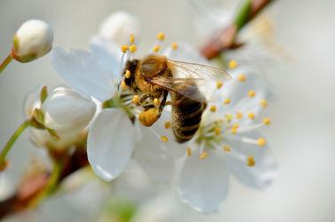 Bild mit Tiere, Blumen, Weiß, Frühling, Insekten, Blume, Blüten, blüte, Biene, Biene, Insekt, Zweig, baumblüte, frühlingsblüte