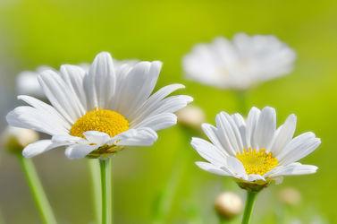 Bild mit Gelb, Natur, Grün, Blumen, Weiß, Frühling, Sommer, Blume, Makro, Wiese, Margeriten, Margerite, Blumen und Pflanzen, Gartenblumen, garten, blüte, blumenwiese, schnittblumen