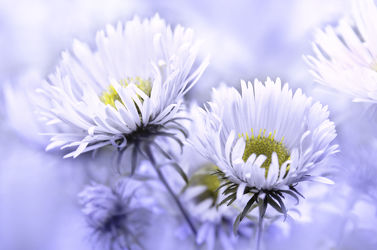 Bild mit Blumen, Weiß, Blau, Sommer, Blume, Makro, Blumen und Pflanzen, Flora, Gartenblumen, garten, blüte, zart