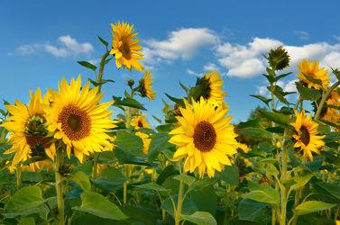 Bild mit Gelb, Natur, Grün, Himmel, Wolken, Blumen, Herbst, Sommer, Sonnenblumen, Blume, Blumen und Pflanzen, Flora, Blüten, blüte
