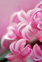 Bild mit Pflanzen,Blumen,Frühling,Blume,Pflanze,Makro,Blatt,Wellness,blüte,beauty,blühen,gartenhyacinthe,hyacinthe,hyacinthus,orientalis,zwiebelblume