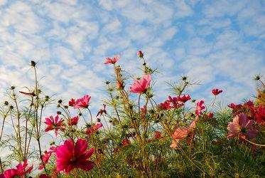 Bild mit Natur, Grün, Himmel, Wolken, Blumen, Sommer, Blume, Pflanze, Wiese, Park, Bunt, cosmea, Blüten, garten, blüte, pink, blumenwiese