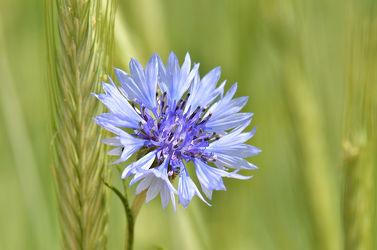 Bild mit Grün, Pflanzen, Blumen, Frühling, Blau, Blume, Makro, Blüten, blüte, Kornblume, Korn