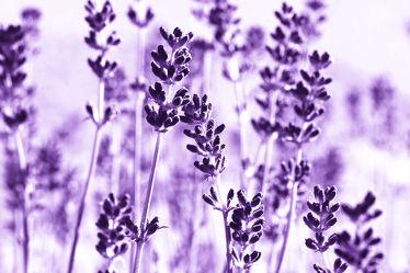 Bild mit Natur, Pflanzen, Blumen, Violett, Lavendel, Sommer, Blume, Pflanze, Pflanze, Flora, Blüten, garten, Deko