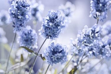 Bild mit Natur, Pflanzen, Blumen, Lavendel, Blau, Blume, Pflanze, Makro, Blüten, garten, blüte, nahaufnahme, Botanik, Lavendelblüten, sommerblume
