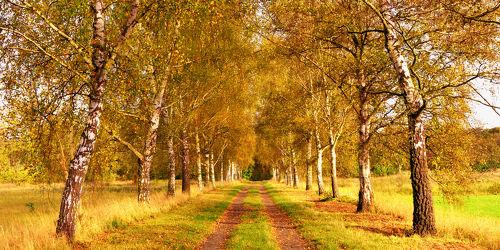 Bild mit Natur, Natur, Landschaften, Bäume, Herbst, Birken, Sommer, Sonne, Baum, Birke, Panorama, Weg, Blätter, Landschaft, Gras, Ruhe, Herbstblätter, Allee, Wandern, birkenallee, Laub, Einsamkeit, Einsam, herbstfarben