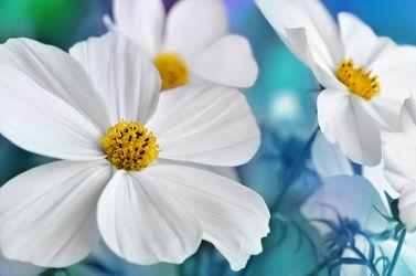 Bild mit Natur, Pflanzen, Blumen, Blau, Sommer, Blume, Pflanze, Flora, cosmea, Blüten, garten, blüte, nahaufnahme, dekorativ