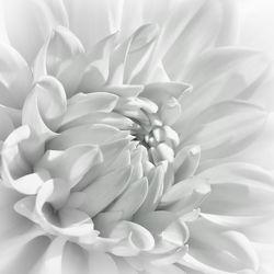 Bild mit Natur, Pflanzen, Blumen, Dahlien, Blume, Makro, Flora, Blüten, blüte, detail, Dahlie, Botanik, dahlia, blühen, dahlienblüte