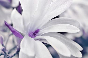 Bild mit Pflanzen, Blumen, Lila, Violett, Frühling, Baum, Blume, Pflanze, Makro, Flora, Magnolien, blüte, Magnolie, Magnolienblüte, baumblüte, frühlingsblüte, sternmagnolie