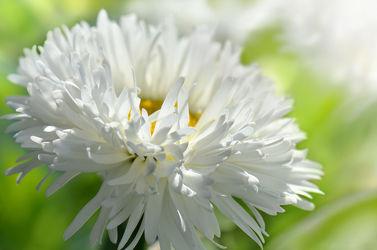 Bild mit Natur, Grün, Pflanzen, Blumen, Frühling, Sommer, Blume, Makro, Margeriten, Margerite, Flora, Gartenblumen, garten, blüte, schnittblumen, silberprinzesschen
