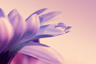 Bild mit Pflanzen, Blumen, Lila, Violett, Makroaufnahme, Blume, Pflanze, Makro, Gerbera, Wassertropfen, Tropfen, Flora, blüte, nahaufnahme, beauty