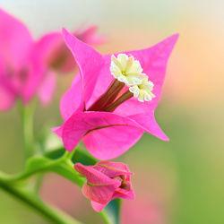 Bild mit Natur, Grün, Blumen, Rosa, Sommer, Blume, Pflanze, Makro, Flora, Blüten, blüte, pink, Busch, drillingsblume