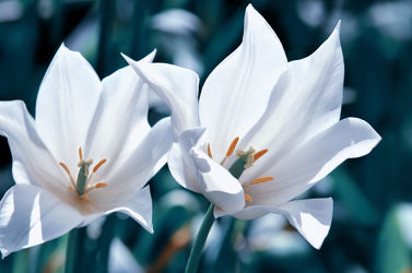 Bild mit Pflanzen, Blumen, Frühling, Blume, Pflanze, Makro, Tulpe, Tulpen, Blüten, Makros, blüte