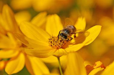 Bild mit Tiere, Blumen, Insekten, Bienen, Tier, Blume, Blüten, blüte, Biene, Insekt, gelbe blüten