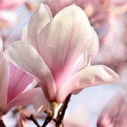 Bild mit Natur, Pflanzen, Blumen, Rosa, Frühling, Blume, Pflanze, Blüten, Magnolien, blüte, Magnolie