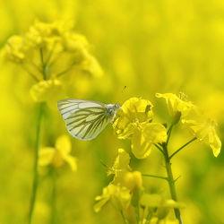 Schmetterling im Rapsfeld