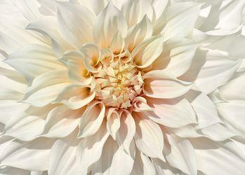 Bild mit Natur, Pflanzen, Blumen, Weiß, Sommer, Dahlien, Blume, Pflanze, Makro, Flora, blüte, detail, Deko, wandschmuck, Dahlie, Botanik, Dahlienblätter, dahlia, home decoration