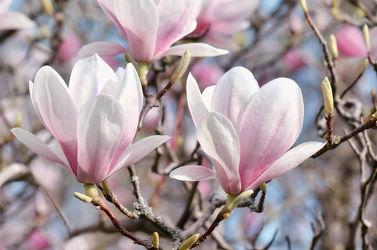 Bild mit Natur, Pflanzen, Blumen, Frühling, Baum, Blume, Pflanze, Flora, Magnolien, blüte, Magnolie, Magnolienblüte, Zweig