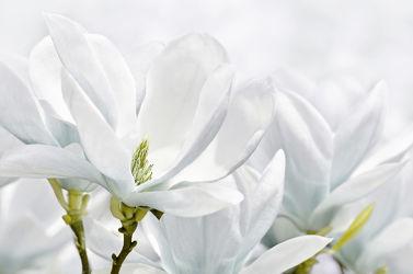 Bild mit Natur, Pflanzen, Blumen, Weiß, Blume, Pflanze, Blüten, Magnolien, blüte, Magnolie