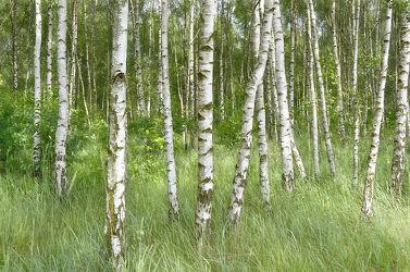 Bild mit Natur, Grün, Bäume, Frühling, Birken, Wald, Baum, Landschaft, Birkenwald, Gras