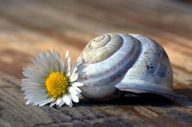 Bild mit Blumen, Schnecken, Blume, Schnecke, Stillleben, gänseblümchen, Blüten, blüte, schneckenhaus, tausendschön
