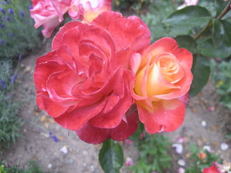Rosenblüte6