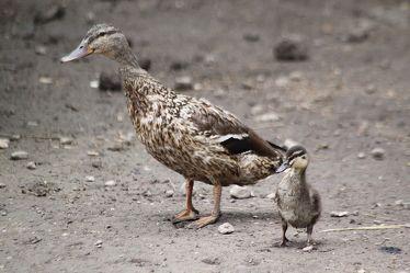 Mami, wo geht es denn nun nach Entenhausen?