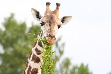 Bild mit Grün,Himmel,Bäume,Essen,Giraffen,Tier,Gras,Giraffe,Zoo,Tierisches,Grashalme