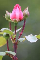 Rose Bild 0473