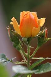 Rose Bild 0227