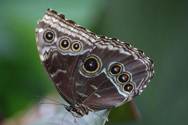 Bild mit Tiere, Insekten, Schmetterlinge, Tier, Schmetterling, Insekt, Bananenfalter