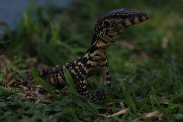 Bild mit Tiere, Natur, Reptilien, Tier, Tierisches, Tierwelt, Reptil, Waran, Warane, Zunge