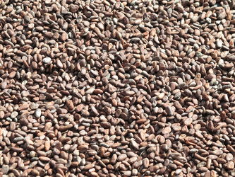 Kakaobohnen  Bild 3733