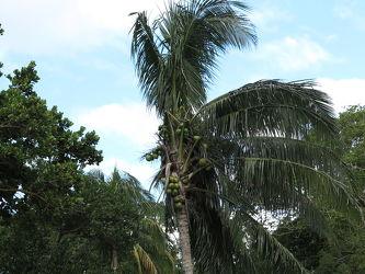 Bild mit Natur, Bäume, Wälder, Palmen, Wald, Baum, Landschaft, Palme, Kokosnusspalme