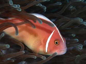 Bild mit Fische, Unterwasser, Anemonenfische, Fisch