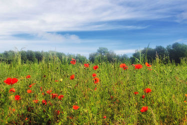 Bild mit Blumen, Mohn, Blume, Mohnblume, Mohngewächse, Mohnfeld, Mohnblumen, Mohnblumenstengel, Mohnfelder, Mohnblumenfeld